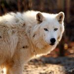 arctic-wolf