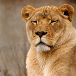 lioness field