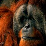 orangutan-in-thought