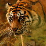 prowling-tiger
