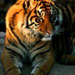 tiger-light