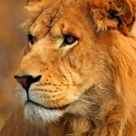 watching-lion