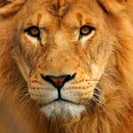 yellow-lion