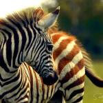 zebra-colt